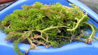 Global Seaweed Products Market